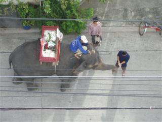 Bangkok elephant, Bangkok travel ideas says don't feed the elephant in the local Soi or face a 10,000 Baht fine.