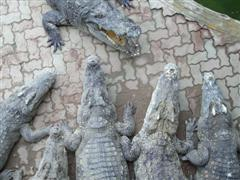 Really big Bangkok crocodiles from a time gone by