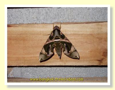 Big moth in Koh Chang