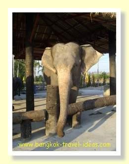 The large mother elephant at Sam Phan Nam floating market