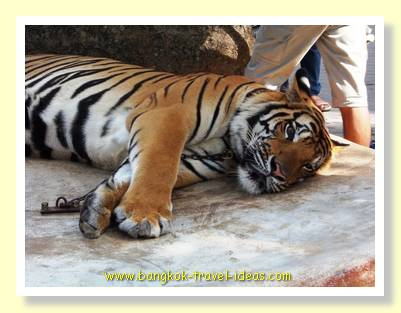 Nong Nooch Bengal Tiger on display