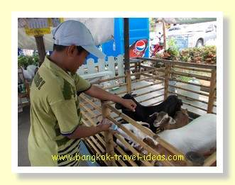 Feeding goats at Pattaya floating market
