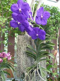 Thai orchid at Regent Suvarnabhumi Airport Hotel