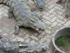 Big prehistoric crocodiles to delight the tourists