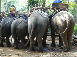 Koh Chang elephants from behind