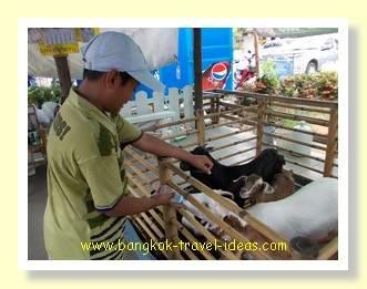 Feeding goats at Pattaya floating market